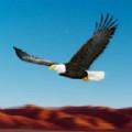 鸟类比赛模拟器老鹰比赛