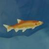 原神黄金鲈鱼位置介绍